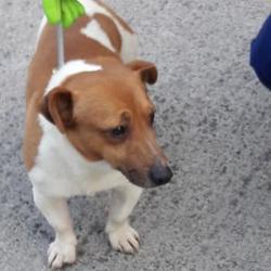Found dog on 09 Jan 2018 in Ronanstown , Clondalkin. found, now in the dublin dog pound... Date Found: Monday, January 8, 2018 Location Found: Ronanstown , Clondalkin