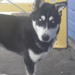 Found dog on 09 Jun 2021 in tallaght. found, now in the dublin dog pound...Date Found: 03/06/2021 Location Found: Tallaght