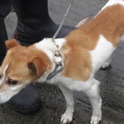 Found dog on 09 Nov 2018 in Foxborough. found, now in the dublin dog pound..Date Found: 07/11/2018 Location Found: Foxborough Road