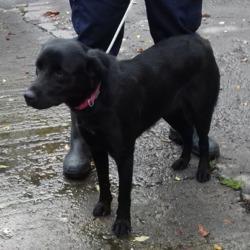 Found dog on 09 Oct 2018 in Ellensborough Tallaght.... found, now in the dublin dog pound...Date Found: 03/10/2018 Location Found: Ellensborough Tallaght