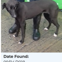 Found dog on 10 Apr 2018 in City West SAGGART. found, now in the dublin dog pound...Date Found: