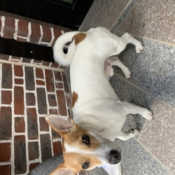 Found dog on 10 Apr 2021 in Dublin 2. Found near grand canal dock Dublin 2 - Jack Russell - no collar but looks well looked after