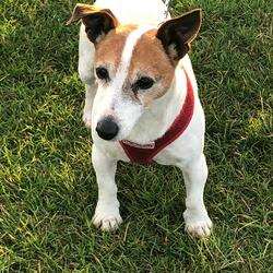 Found dog on 10 Aug 2021 in Dublin. Jack Russell found in the Dublin 1 area. Call 0852306746 if you think this could be your dog