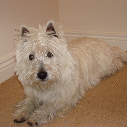 Found dog on 10 Dec 2009 in Dublin. west highland terrier found in santry area dublin on10/12/09, pure white ph:0872496000