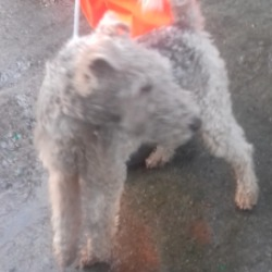 Reunited dog 10 Dec 2018 in Palmerstown. UPDATE OWNER FOUND...found, now in the dublin dog pound..Date Found: