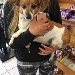 Reunited dog 10 Sep 2017 in Ranelagh. Found female jack Russell terrier