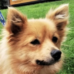 Found dog on 10 Sep 2019 in  Sandyford . found..DSPCA Page Liked · 4 hrs · Edited ·    Pom type male dog found 08/09/19 in Sandyford Dublin.