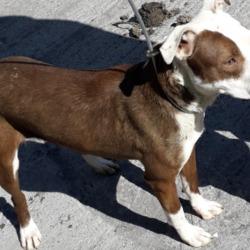 Found dog on 11 Apr 2019 in clondalkin. found, now in the dublin dog pound...Date Found: 10/04/2019 Location Found: Village