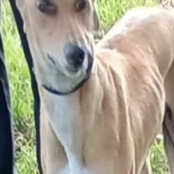 Found dog on 11 Aug 2021 in dublin.... found, now in the dublin dog pound...  Lady  South Dublin County Council    Lady is a  female lurcher and came to us a  stray from Saggart.  She is roughly 2/3 years   old.   She   is a friendly, placid dog and loves to go on walks.   If not reclaimed, She can be  viewed for rehoming  from 30/7/21 by   appointment only.  (booked)