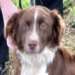 Found dog on 11 Aug 2021 in dublin. found, now in the dublin dog pound...  Holly  South Dublin County Council    Holly is a Springer cross Collie and came to us a   surrender  from Lucan.  She is roughly 2/3 years   old.   She   is a friendly, happy dog. She can be   viewed for rehoming be  from 04/8/21/7/21 by   appointment only.  (booked)