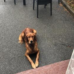 Found dog on 11 Aug 2021 in Howth, Co Dublin. Very friendly retriever/red setter mix. Found at The Summit, Howth, Co Dublin.
