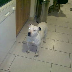 Found dog on 11 Dec 2009 in Clondalkin. White female Staff with one black ear, middle aged, found wandering in Clondalkin Village on Friday 11th December 09. She is now in the care of South Dublin County Council: (01) 8026676, Fax: (01) 8015869