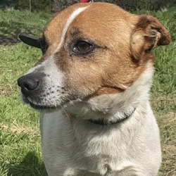Found dog on 11 May 2021 in dublin ... found, now in the dublin dog pound...Scampie  South Dublin County Council   Scampi came in as a stray on the 29/4/21. He was dumped from a car with two others dogs. One called sparky which was reclaimed. He is not microchipped. Scampie is a lovey dog . He is about 5years old. He is very placid and good around other dogs also. He is currently looking for his owners and if not reclaimed can be viewed for adoption from 5/5/21. Booked for adoption