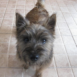 Found dog on 11 Nov 2009 in Carrigtwohill area Co.Cork. Carin Puppy(nine months) found. Contact: 021- 4632446 or Mobile: 085-7205003