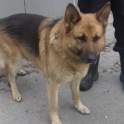 Found dog on 12 Apr 2019 in Landdale Lawns. found, now in the dublin dog pound...Date Found: 11/04/2019 Location Found: Landdale Lawns