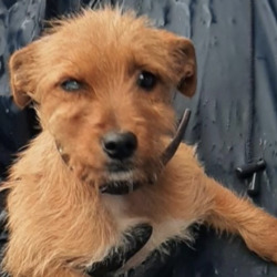 Found dog on 12 Apr 2021 in Kishogue Park. found, now in the dublin dog pound..Date Found: 09/04/2021 Location Found: Kishogue Park