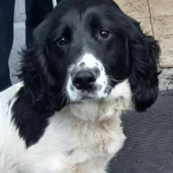 Found dog on 12 Apr 2021 in lucan... found, now in the dublin dog pound...Date Found: 17/04/2021 Location Found: Kishogue Park