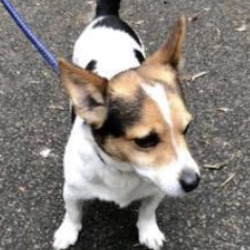 Found dog on 12 Aug 2020 in finglas. found...to Lost and found pets in Dublin 16h This male jack Russell was found at approx 4:30pm 11/08/20 in finglas village, Dublin 11 He is quite young and friendly not chipped or neutered, he wasn't wearing a collar and was quite hungry. I can keep him tonight but I'm not sure how much longer after that as I already have dogs myself Please share everyone thank you