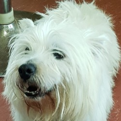 Found dog on 12 Feb 2019 in Ballymun.. found...***FOUND PETS AT THE DSPCA***  Male adult (not neutered) West highland terrier found 10/02/19 in Ballymun.