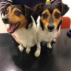 Found dog on 12 Oct 2017 in Palmerstown. UPDATE NOW IN THE DUBLIN POUND....found...2 stray doggies handed into us this evening. Found in Palmerstown together. Not microchipped. Call us on 01 6237044 if you have any information. Proof of ownership will be necessary 🐾