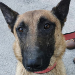 Found dog on 12 Oct 2021 in clondalkin. found, now in the dublin dog pound..Dublin County Dog Shelter 1t0ton0s9oudh  ·  Found. Young male malinois found in Deansrath, clondalkin  on 11/10/21  If this is your dog please phone the shelter on 0873914008