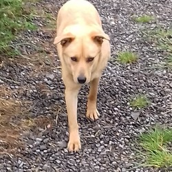 Found dog on 13 Jun 2019 in Blackthorn close, Kells. found...Meath Dog Shelter