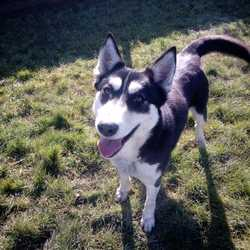 Found dog on 13 Mar 2018 in navan,. found..Ref 62, Lilly, female husky x found in navan, these girl has been straying for a while, she's very friendly and someone may be missing her so please share to help this girl find her home, contact 0870973911 with any information