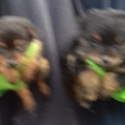 Found dog on 13 Nov 2017 in Cherryfield Way , Templeogue. found,now in the dublin dog pound.... Date Found: Friday, November 10, 2017 Location Found: Cherryfield Way , Templeogue
