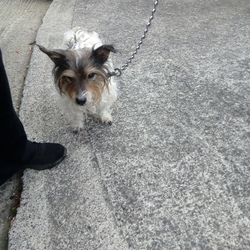 Reunited dog 13 Nov 2017 in Finglas/Ashton. Reunited!   Small female terrier found in Tolka Valley Park in Finglas/Ashton. Wearing collar but no tag. Contact 0863153908. Proof of ownership required.