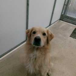 Found dog on 13 Nov 2017 in Liscarton, Kells ..... found..old Retriever x ...ref 329...found with Austin on Sunday morning in Liscarton, Kells ....please contact Meath pound on 087 0676766...thanks