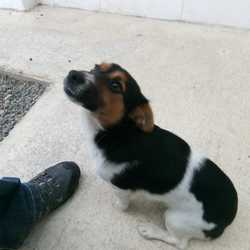 Reunited dog 13 Nov 2017 in Mullahaboy Ind. Est. Navan Co Meath.. UPDATE REUNITED....found...Jrt Puppy approx 8mts old found in Mullahaboy Ind. Est. Navan Co Meath...contact Meath pound on 087 0676766...thanks