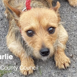 Found dog on 13 Sep 2021 in dublin. found, now in the dublin dog pound...Charlie Fingal County Council    Charlie is a male Terrier Cross and he came to   us  as a  stray from Swords on the 9/9/21.  He is   roughly 2/3 years  old.   He  is a quiet, timid dog   and is not fond of the lead.   He is not   microchipped and we are currently looking for his   owner.