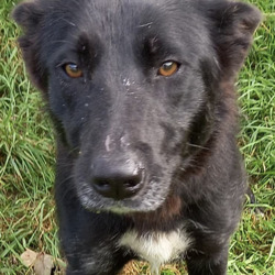 Found dog on 13 Sep 2021 in south dublin. found,,Pippa  South Dublin County Council      Pippa is a Collie Cross  and she came to  us  as     a stray from Tallaght on 8/9/21.  She  is  roughly   1 year  old.   She  is a quiet, placid dog and is  a   bit nervous. She is not  microchipped and we are currently   looking for   her owner.