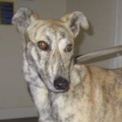 Found dog on 14 Aug 2021 in ashford . . found...Wicklow Dog Pound thSmpons4orredh  ·  Mabel (pound name) is a female lurcher found in the Ashford area. For further information please contact Wicklow Dog Pound at 0404-44873.