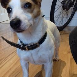 Found dog on 14 Dec 2018 in Crumlin. Female Jack Russell aged 2-3 years, white body, brown ears and a brown diamond on her forehead. Black leather collar. Found in Crumlin (Clogher Road) on 13th December.   Text 0894362828 if she is yours. ID required.