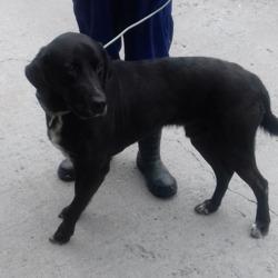 Found dog on 14 Jun 2018 in Belgard Road. found, now  in the dublin dog pound...Date Found: 13/06/2018 Location Found: Belgard Road