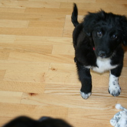 Found dog on 14 Nov 2009 in Athlone, west side. Adorable black and white collie/spaniel cross puppy. white marking on chest with black face. aprox 10 weeks old