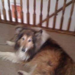 Found dog on 14 Nov 2009 in Glenbrook. Found Collie/Lassie type dog found in the Glenbrook area of Cork on saturday 14/11/09