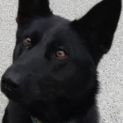 Found dog on 14 Oct 2021 in ward. found, now in the dublin dog pound in hollygrove....Dublin County Dog Shelter 5ps1ir6eh7  ·  Two young female Belgian/German Shepherds found straying in The Ward Co. Dublin 13/10/21.  If these are your dogs please contact the shelter on 0873914008. Reclaim fee applies.