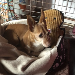 Found dog on 16 Sep 2021 in Dunlavin. Lovely quiet little girl found in Dunlavin but may have been stolen and dumped as she is spayed and seems to be quite old. Very sweet little dog. Has no microchip. Foxy colour with distinct white