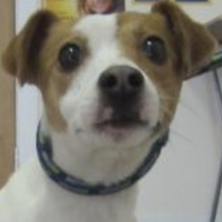 Found dog on 15 Feb 2019 in Aughrim. found...Wicklow Dog Pound 4 mins ·  Rose (Pound Name) is a female Jack Russell found in Aughrim. For further information please contact Wicklow Dog Pound at 0404-4487