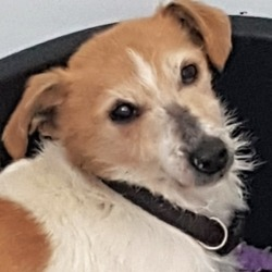 Found dog on 15 Jan 2019 in ballyfermot . found..***FOUND PETS AT THE DSPCA***  White and red jack Russell terrier cross. female 8 years plus.found 11/01/19 in Ballyfermot.  proof of ownership a must!!  call 014994700.