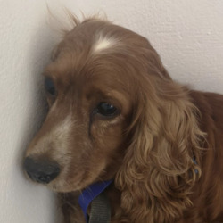 Found dog on 15 Jul 2020 in mallow. found assumed stolen...Looks like she was stolen, possibly from the Leinster Area and was found in Mallow, Co Cork.