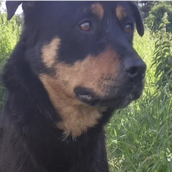 Found dog on 15 Jul 2021 in Blanchardstown. . found, now in the dublin dog pound... Archie    Fingal County Council    Archie is a male Rottweiller X and came to us a     stray from Blanchardstown.  He is roughly 2 years   old. He  is good on the lead.   He is not   microchipped . We are  currently  looking  for his   owner, if not reclaimed  can be  viewed from   20/7/21 by appointment only.