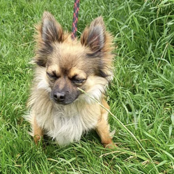 Found dog on 15 Jul 2021 in Fingal. found, now in the dublin dog pound... Charlie    Fingal County Council    Charlie is a male Pomeranian x and came to us a   stray .  He is roughly 2-3 years old. He  is a bit   nervous but   is coming around.  He is not   microchipped .  We are   currently  looking  for his     owner, if not  reclaimed  can be  viewed from 19/7/21  by  appointment only.