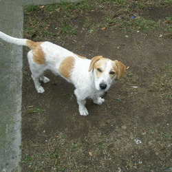 Found dog on 15 Mar 2010 in Clonee. Jack Russell looking 1-2 y old, found on 15/03/2010 on Clonee. co. Dublin. Very friendly. 0851982982
