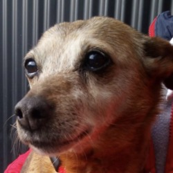 Found dog on 15 Mar 2019 in lucan. found..*DSPCA FOUND PETS***