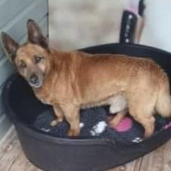 Found dog on 15 Mar 2021 in kildare. found...Out walking with Luna and she found this elderly dog under a bush in the Kildare Outlets. Hes quite old, possibly injured and very hungry. Hes in their kennels now so if hes yours please collect him because hes not in good shape...Lost and Found Dogs Co.Kildare
