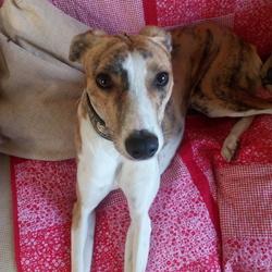 Found dog on 15 Oct 2018 in Found Kilruddery Windgates area. brindle and white lurcher found