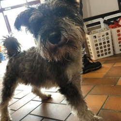 Found dog on 16 Aug 2019 in Dublin 2. Schnauzer found in Monkstown road. It's a boy.